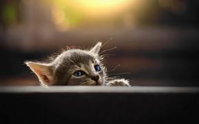 Картинка серый котенок, размытость боке, мордочка