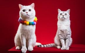 Картинка кошка, кот, кошки, две, пара, бусы, белая, украшение, серая, красный фон, фотосессия, британские, дружба врозь, …