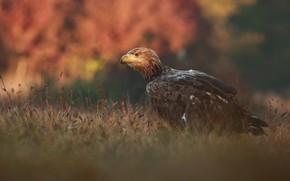 Картинка осень, трава, природа, птица, хищник, сокол, Łukasz Sokół