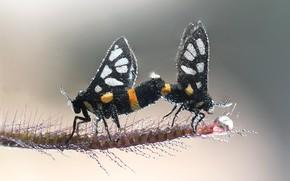 Картинка капли, макро, бабочки, насекомые, роса, две, пара, серый фон, парочка, черные, стебелёк, спаривание, две бабочки