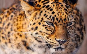 Картинка портрет, леопард, большая кошка