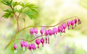 Картинка листья, цветы, ветка, сердечки, розовые, боке, разбитое сердце, дицентра