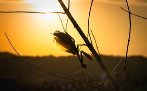 Картинка солнце, макро, свет, закат, ветка, вечер, богомол, силуэт, насекомое, оранжевый фон