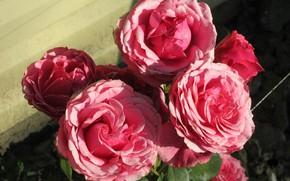Картинка цветы, фон, розы, Mamala ©, лето 2018