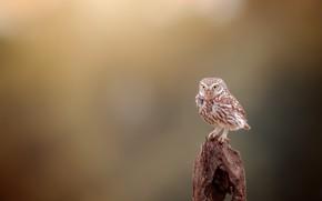 Картинка природа, сова, птица