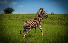 Картинка цветы, зебрёнок, поза, малыш, природа, зебра, синева, зебренок, детеныш, поле, куст, небо, трава