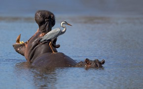 Картинка hippo, South Africa, Kruger National Park, Grey heron, Sunset Dam