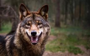 Картинка лес, природа, волк, хищник