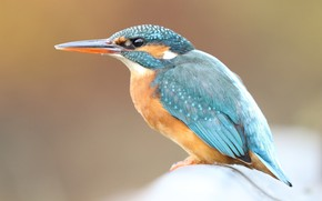 Картинка взгляд, крупный план, фон, птица, милый, профиль, птичка, сидит, голубая, зимородок, яркое оперение, пташка