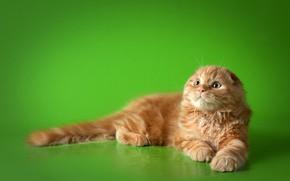 Картинка кошка, кот, вислоухий, рыжий, лежит, зеленый фон