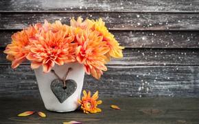 Картинка цветы, Оранжевая, хризантема, горшочек