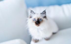 Картинка взгляд, котёнок, голубые глаза, Бирманская кошка