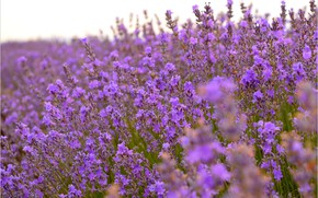 Картинка Лаванда, Lavender, Лавандовое поле