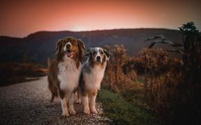 Картинка дорога, собаки, закат