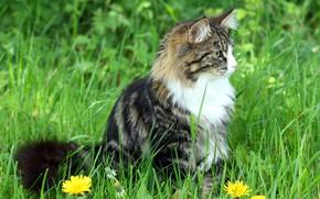 Картинка кошка, трава, кот, пушистый, одуванчики, сидит