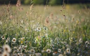Картинка лето, трава, ромашки, луг