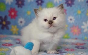 Картинка белый, взгляд, поза, котенок, фон, голубой, игрушка, малыш, мордочка, ткань, котёнок, цветочки, сидит, рэгдолл