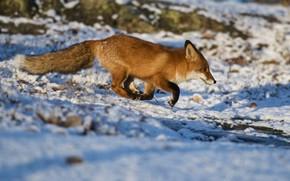 Картинка зима, снег, природа, лиса, рыжая