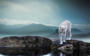 Обои природа, тигр, камни, животное, хищник, водоём, Thai Phung