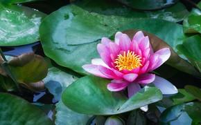Картинка цветок, листья, пруд, розовая, кувшинка, водоем, нимфея, водяная лилия