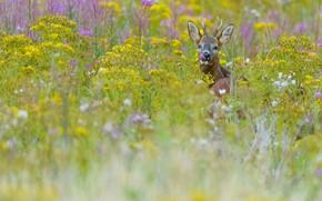 Картинка поле, язык, лето, трава, взгляд, морда, цветы, природа, портрет, желтые, пастбище, луг, косуля, разнотравье