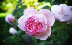 Картинка цветок, розовая, роза, розы, сад, бутон, боке