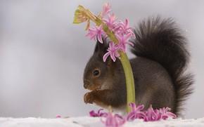 Картинка цветок, снег, природа, животное, весна, белка, зверёк, грызун, гиацинт