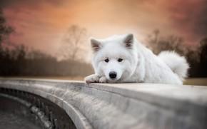 Обои осень, белый, небо, взгляд, свет, деревья, закат, поза, парк, фон, портрет, собака, вечер, лапы, малыш, ...