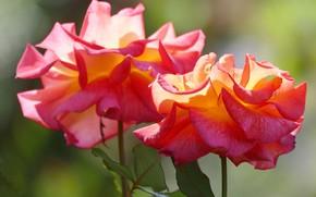 Картинка свет, фон, яркие, розы, бутоны, два цветка, оранжево-красные