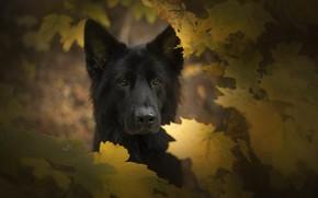 Картинка собака, осень, друг