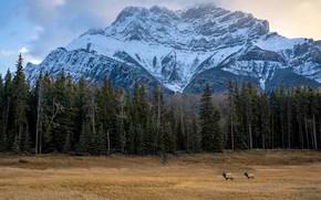 Картинка поле, осень, лес, горы, природа, скалы, вершины, ели, три, олени, снежные, лесной массив, три оленя