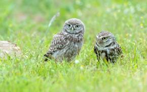 Картинка трава, птицы, сова, птица, поляна, две, пара, совы, парочка, дуэт, два, сыч, сычи, две птицы, …