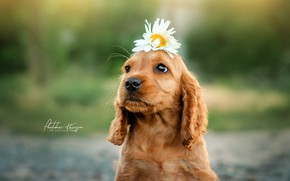Картинка цветок, ромашка, щенок, мордашка, боке, пёсик, Екатерина Кикоть