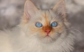 Картинка зима, кошка, белый, взгляд, снег, котенок, фон, портрет, пушистый, котёнок, мордашка, голубоглазый, колор-пойнт, невская маскарадная, ...