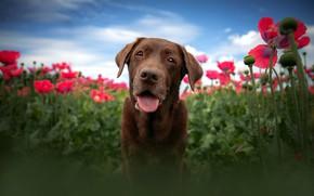 Картинка язык, небо, морда, облака, цветы, синева, фон, маки, портрет, собака, размытие, ракурс, коричневая, маковое поле
