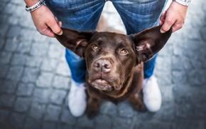 Картинка взгляд, морда, мужик, собака, уши