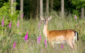 Картинка лес, трава, взгляд, цветы, поляна, олень, олененок, детеныш, дикая природа, пятнистый