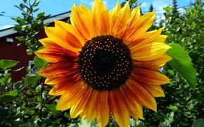 Картинка цветок, природа, подсолнух, Meduzanol ©