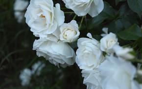 Картинка цветы, ночь, роза, широкоформатные, белая роза