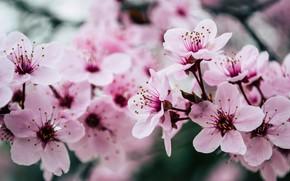 Картинка pink, blossom, spring