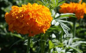 Картинка цветок, желтый, природа, растение, сад, бархатцы