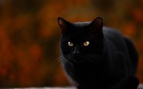 Картинка сидит, размытый задний фон, черная кошка