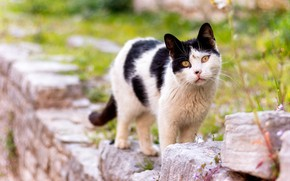 Картинка кошка, кот, взгляд, камни, черно-белый, пятнистый, желтые глаза