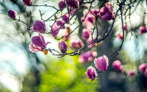 Картинка свет, цветы, ветки, размытие, весна, ярко, цветение, сиреневые, боке, магнолия