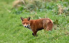 Картинка зелень, трава, природа, лиса, рыжая, лисица, боке