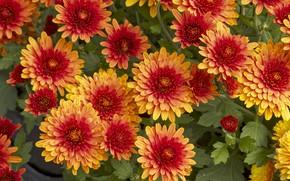 Картинка цветы, хризантемы, flowers