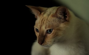 Картинка кот, портрет, черный фон