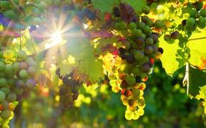 Картинка Природа, виноград, виноградники