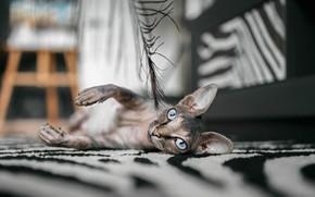 Картинка кошка, взгляд, перо, лапы, мордочка, голубые глаза, сфинкс