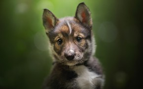 Картинка взгляд, фон, щенок, мордашка, боке, Тамасканская собака